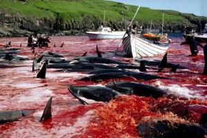Faro Island pilot whale hunt - summer 2012