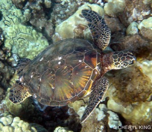 Endangered Hawksbill Turtle - photo by Cheryl King of xxx
