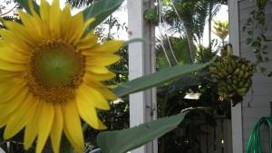 Our first sun flower this season.