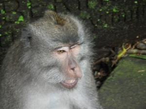 Bali monkey - fearless