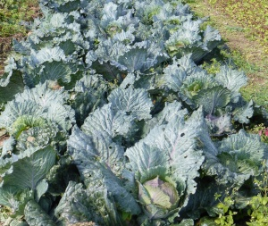 cabbagew