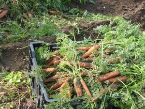 carrotsw