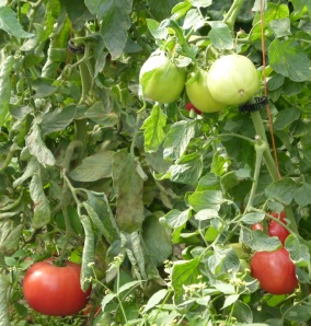 Vine-ripening tomatoes - priceless.