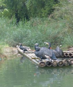 "Captured ""working"" cormorants."
