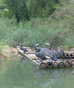 """Captured """"working"""" cormorants."""