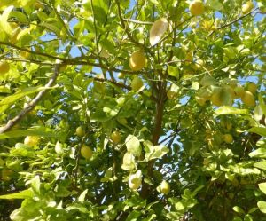 In the middle of the desert - lemon trees are loaded with fruit.
