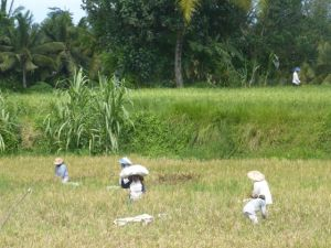 Rice field harvest - along Jalan Bisma.