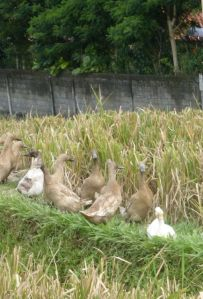 Ducks are an important part of the ecology of the rice fields - along Jalan Bisma.