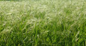 Growing rice.