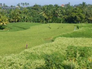 Terraced rice fields.