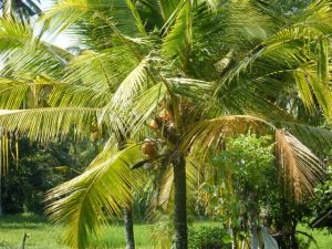 Coconut trees are everywhere.