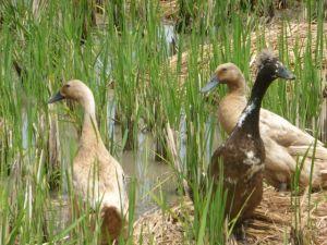 Jalan Bisma ducks.