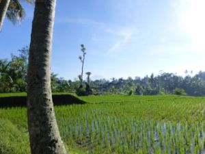 Bali, the land of lush rice fields.