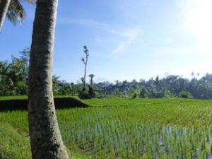 Bali, the land of lush rice fields.