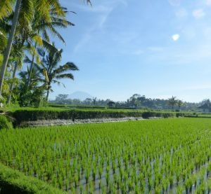 Rice field and volcano