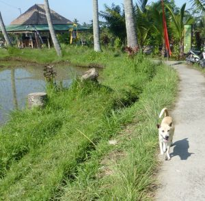 A Bali Dog walks along the rice fields