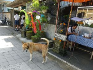 Because of the heat and huminity xx, many of the Bali dogs suffer with skin problems.
