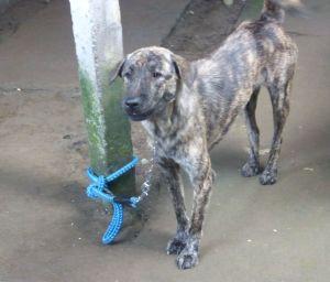 A Bali Dog