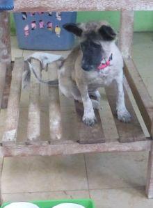 A Bali Dog - at Kitty Villa