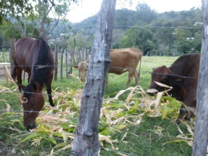 Farm animals next to a Boquete road