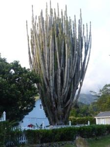A Boquete cactus