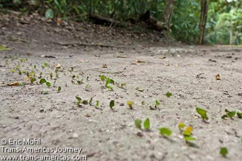 Tikal_Leaf-cutter-ants