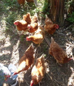 Chickens that I could pet - one was interested in sampling my jeans.