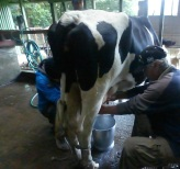 Barry milking a cow