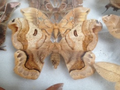 Moth - from the San Luis Eco-lodge