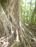 Gigantic strangler fig trees