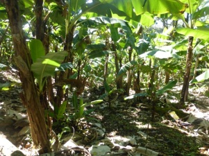 A banana patch - in the ecological sanctuary