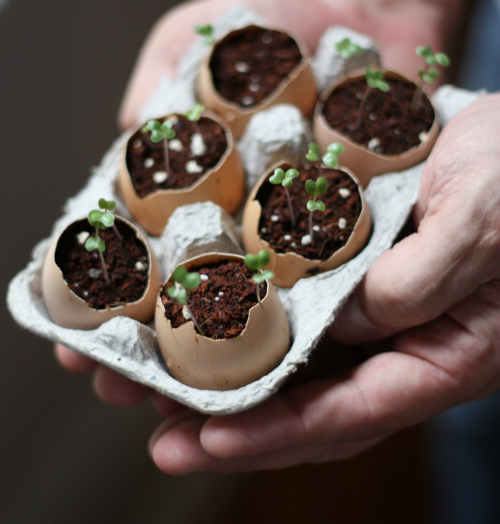 Eggshell+planters+seedlings
