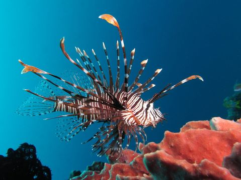 1024px-Red_lionfish_near_Gilli_Banta_Island