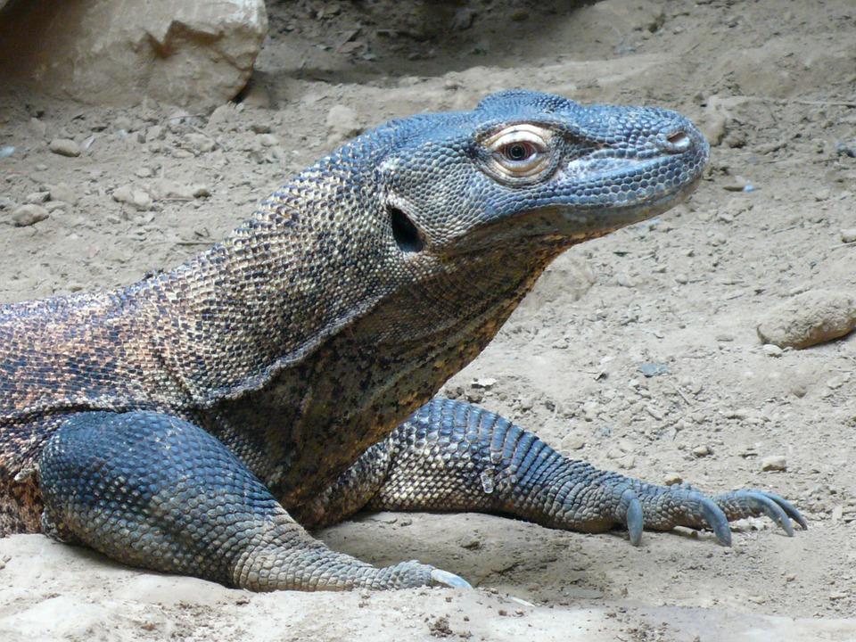 komodo-dragon-590548_960_720