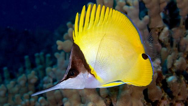 butterflyfish-longnose_620