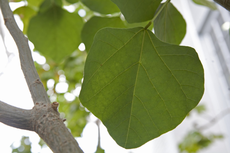 wiliwili-leaves_medium